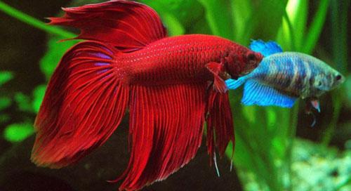 Рыбка петушок: содержание, совместимость, размножение