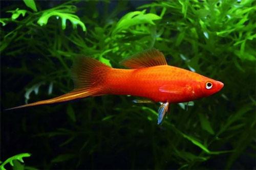и фото для меченосец название аквариума рыбки