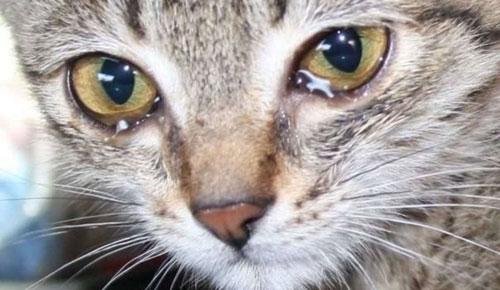 Чем чистить глаза котенку: советы ветеринаров 2