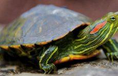 Как содержать красноухих черепах в домашних условиях, сколько живут, что едят, чем болеют?