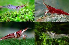 Как содержать креветок в аквариуме, чем питаются, с кем уживаются?