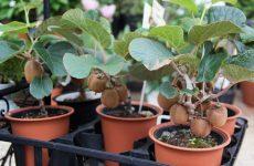 Выращивание киви в домашних условиях: уход и посадка