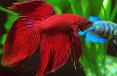 Как ухаживать за рыбкой петушком в домашних условиях?