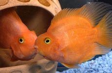 Описание рыбок попугаев и как за ними ухаживать?
