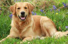 Описание и характеристика рейтинговых пород собак по интеллекту