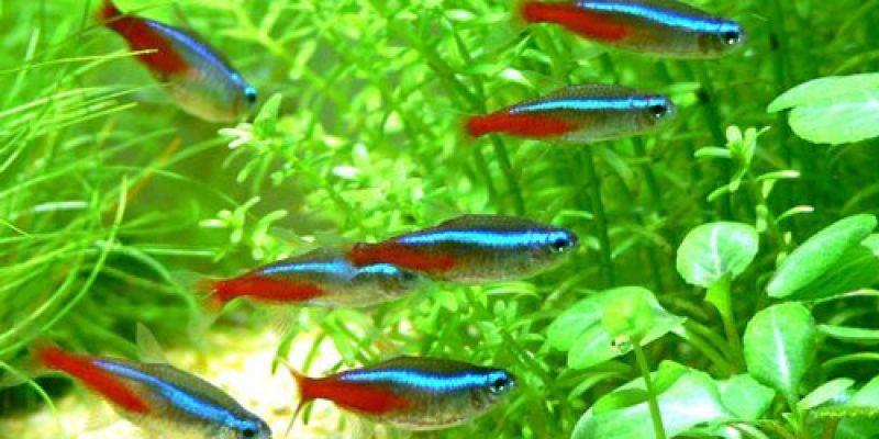 Особенности разведения рыбок неонов в домашних условиях