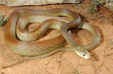Самая ядовитая змея в мире