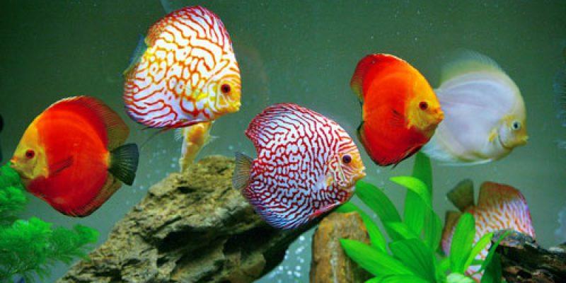 Виды цихлид с описанием, совместимость с другими рыбами. Как содержать, чем кормить и как размножаются?
