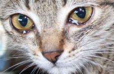 Что делать, если у кота слезятся глаза: причины и способы лечения?