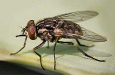 Как вывести мух из дома: ловушки своими руками