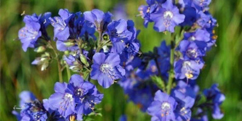 Список голубых цветов с названиями и фото: полевые, садовые и комнатные