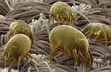 Как избавиться от пылевых клещей в домашних условиях?