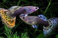 Как размножаются рыбки гуппи, с кем уживаются, содержание и уход за ними